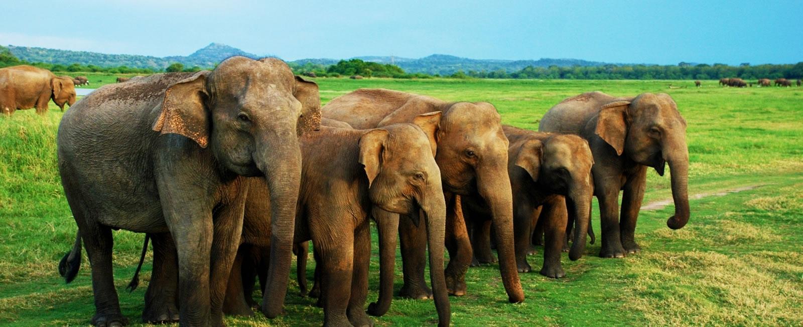 elephantsSrilanka